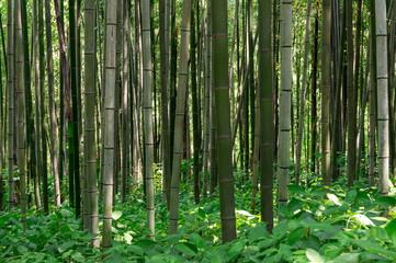 Bamboo forest in Damyang, South Korea taken during summer.