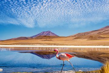 Lagoon flamingo bolivia