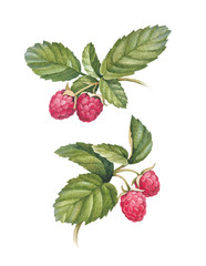 Watercolor raspberry illustration