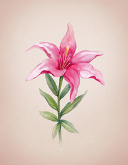 Watercolor illustration of lily flower