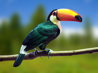 Poster Toekan Toco Toucan against wildness