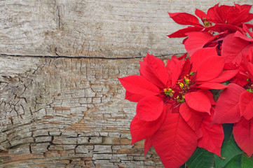 poinsettia on wooden background