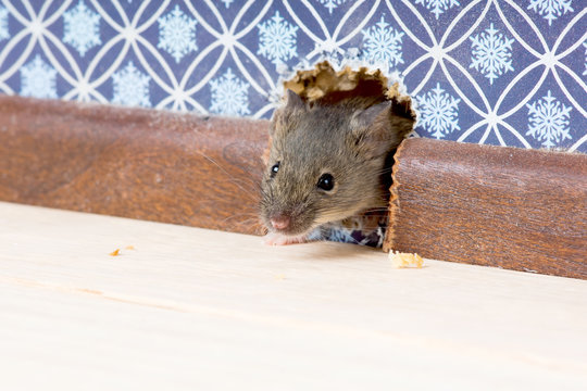 House Mouse  (Mus musculus)   gets into the room through a hole