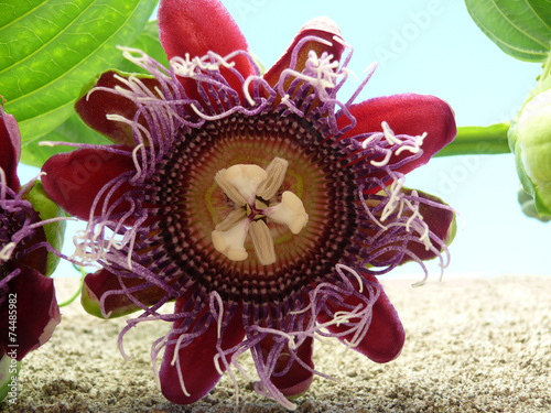 Fleur De Barbadine Fruit De La Passion La Reunion Stock Photo And