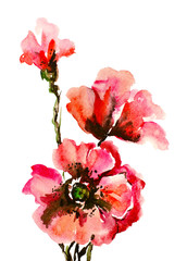 Watercolor painting: red poppies isolated on white