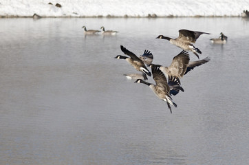 Canada Geese Landing on a Winter Lake