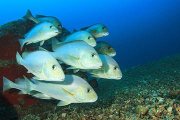 School Silver Sweetlips fish underwater on coral reef