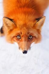 Fototapete - red fox