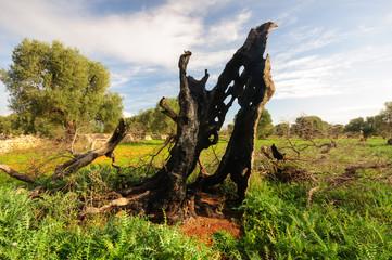 Puglia ulivo secolare bruciato