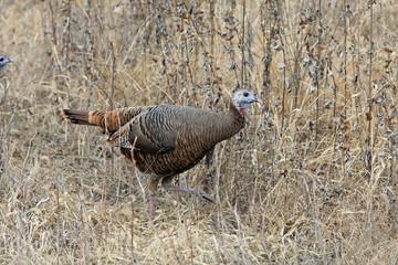 Rio Grange Turkey