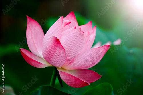 Wall mural Lotus flower