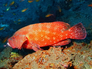 Grouper, Island Bali, Tulamben
