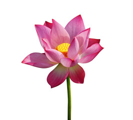 Wall Mural - Beautiful lotus isolated on white background