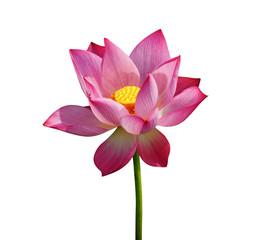 Fototapete - Beautiful lotus isolated on white background