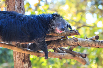 Search photos binturong