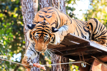 Feeding the Bengal tiger (Panthera tigris tigris) in the zoo