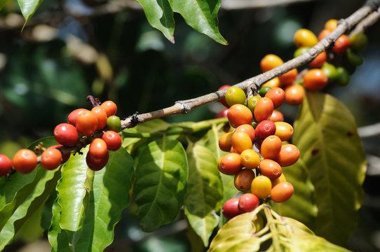 coffea growing