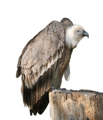 Griffon vulture On White