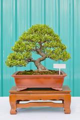 Bonsai pine tree against a green wall