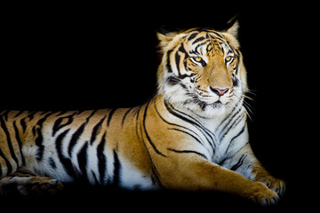Fototapete - Grand Tiger