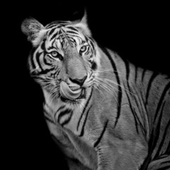 Fototapete - Black and White Tiger hungry