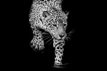 Fototapete - close up black and white Jaguar Portrait