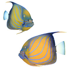 Tropical fish isolated on white: Bluering Angelfish
