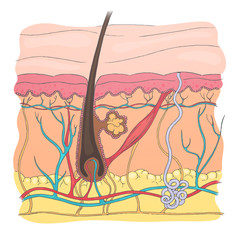 Vector Illustration of a Human Skin Diagram