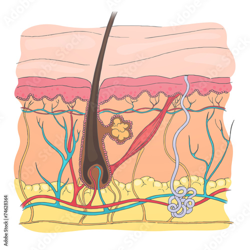 Vector Illustration Of A Human Skin Diagram Stock Image And Royalty