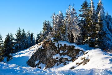 Pine trees covered by snow into the forest in winter season