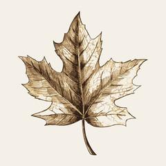 Sketch illustration of a maple leaf