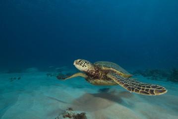 Hawaii Tropical Sea Turtle