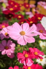 Close up fresh Cosmos flower