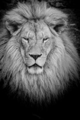Dangerous lion b&w