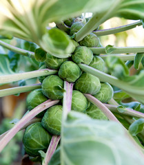 Poster Brussels Brussel Sprouts on a Farm