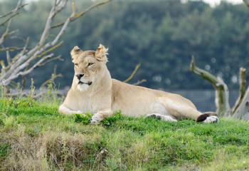 Lioness Alert
