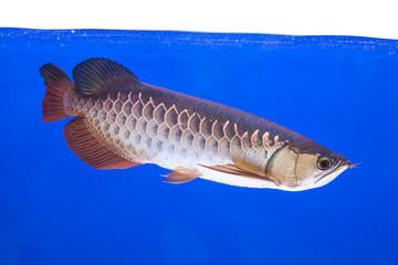 Arowana Fish Series