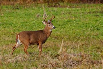 Fototapete - Whitetail Deer Buck
