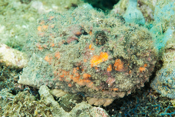 Devil scorpionfish in Ambon, Maluku, Indonesia underwater