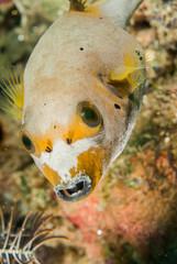 Blackspotted pufferfish in Ambon, Maluku, Indonesia underwater
