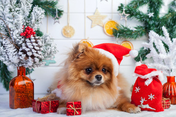 Pomeranian in santa clothing on a Christmas decorations