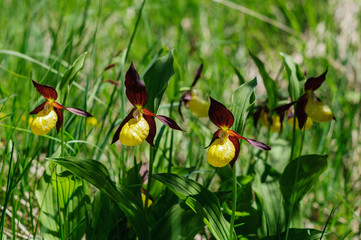 Orchidea, scarpetta di venere