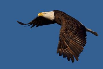 Flying American Bald Eagle