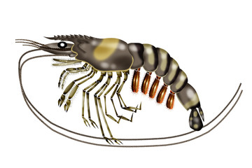 tiger shrimps white background