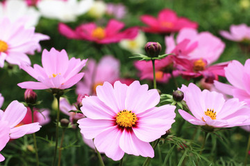 Cosmos flowers and buds