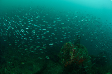 Boat wreck, schooling fishes in Ambon, Maluku underwater