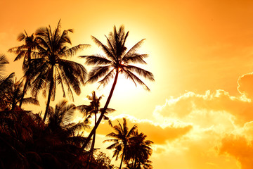 coconut palm in sunsat