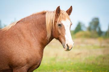 Fototapete - Portrait of beautiful lithuanian heavy draft horse
