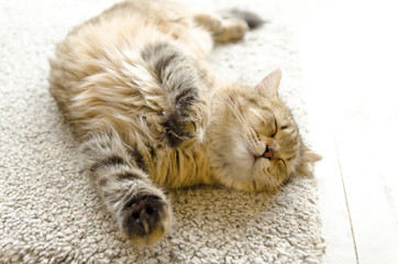 熟睡する家猫 全身