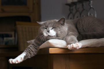 British Kurzhaar Katze erwacht auf dem Tisch Fototapete